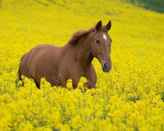 Найбільша кількість коней - в Китаї.