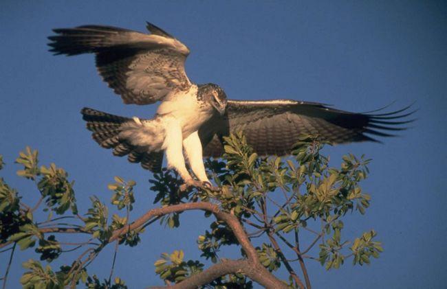 бойовий орел