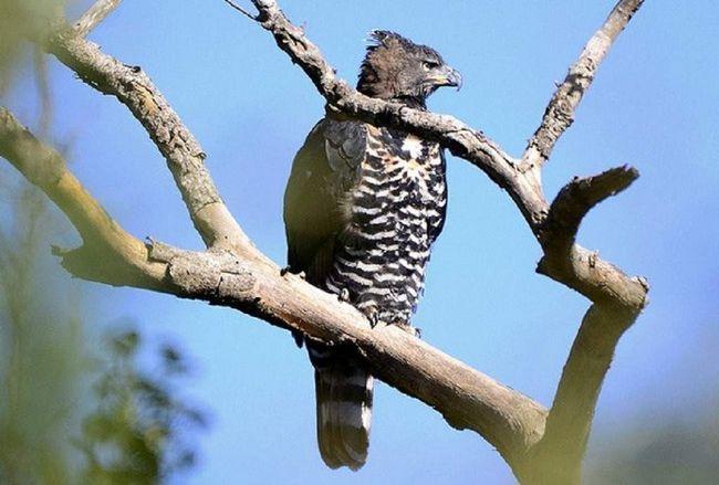 вінценосний орел