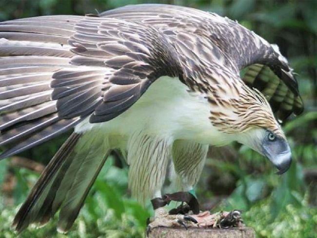 філіппінський орел
