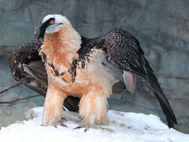 птах Бородач