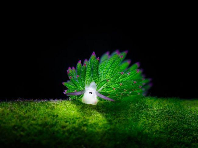 Costasiella kuroshimae, що мешкає біля берегів Японії, Індонезії і Філіппін.
