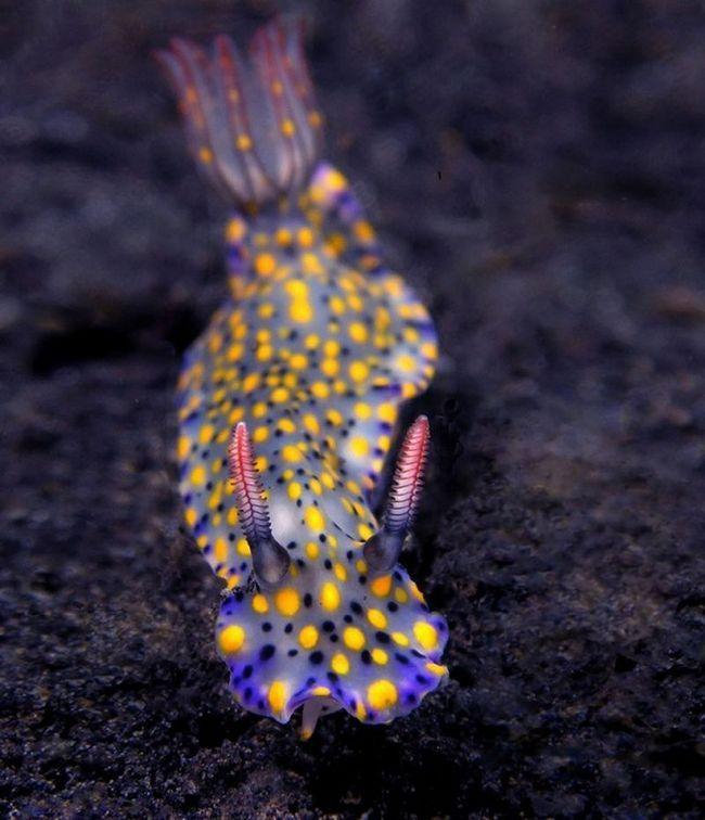 Hypselodoris Kanga - один з найкрасивіших за формою і забарвленням серед підводних мешканців.