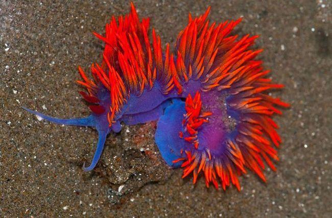 Дуже барвистий морський слимак.