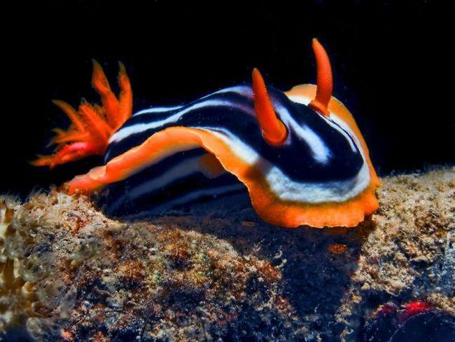 Найпростіший голожаберних молюск, що живе в Червоному морі і досягає розміру до 5 см.