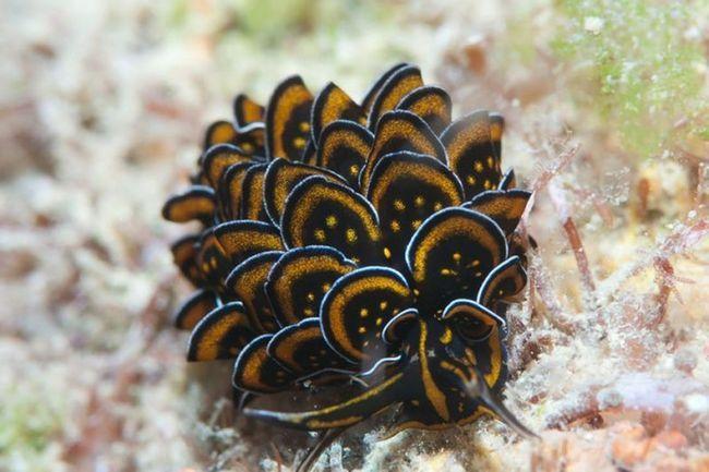 Молюск, що мешкає в західній частині Тихого океану.