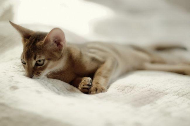 Абиссинская кішка: забарвлення