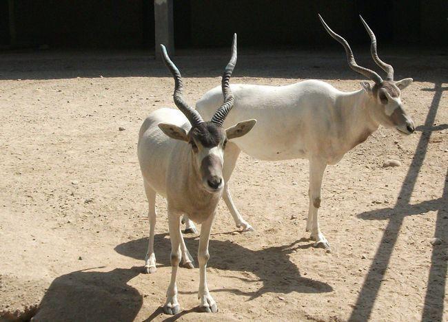 Аддакс - африканська антилопа