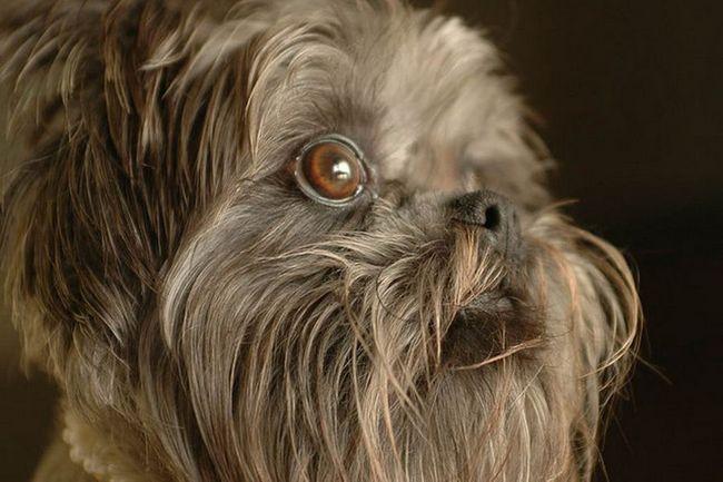 Аффенпинчер (нім. Affenpinscher) - собака альпініст