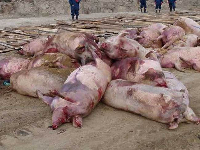 Всього в селі шерстинного було знищено понад шестисот свиней, а в області - понад три тисячі.