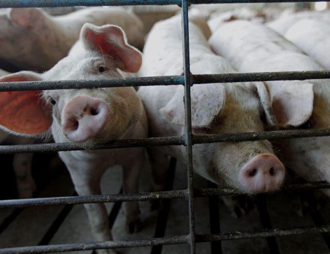 Африканська чума свиней: ознаки