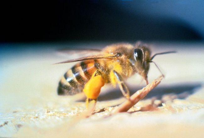 Африканська бджола (лат. Apis mellifera scutellata)