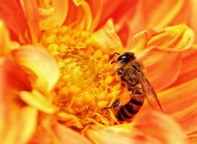 Африканська бджола на зборі нектару.