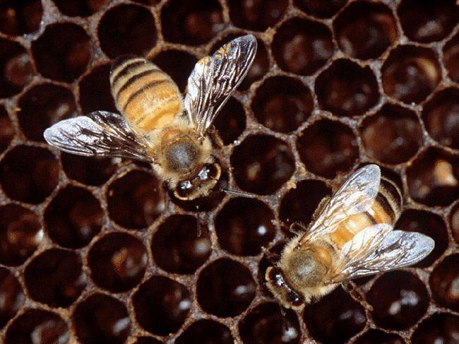 Стільники африканської бджоли.