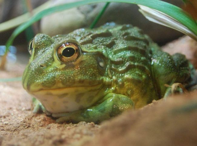 Африканська риюча жаба (Pyxicephalus adspersus).