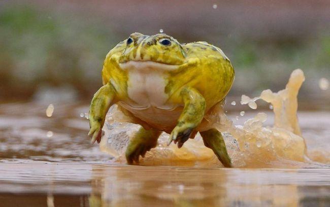 afrikanskaja rojushhaja ljagushka chem zhivet amfibija animal reader.ru-002