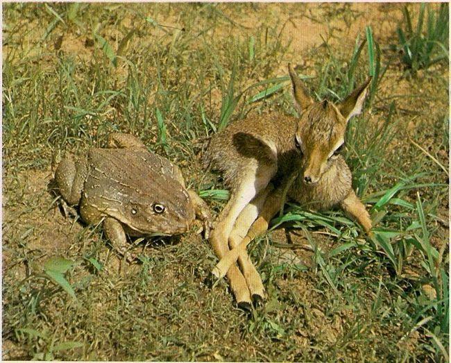 Укус африканської роющей жаби неймовірно болісний.