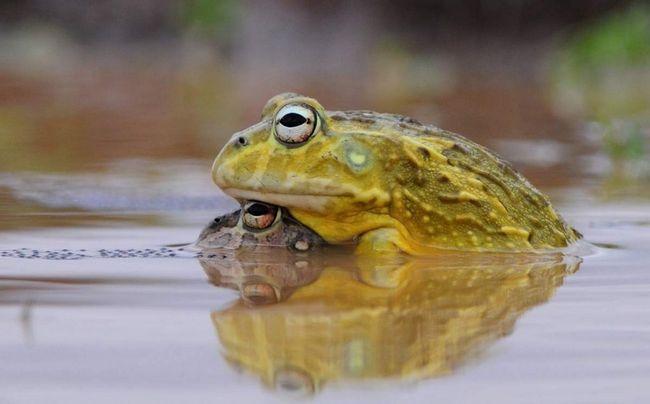 Риючі жаби неперебірливі в їжі, тому їх можна годувати різною тваринною їжею.
