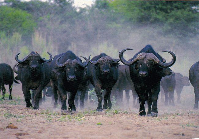 Зустрітися на шляху у стада африканських буйволів - дуже небезпечно. Вони можу затоптати кого і що завгодно.