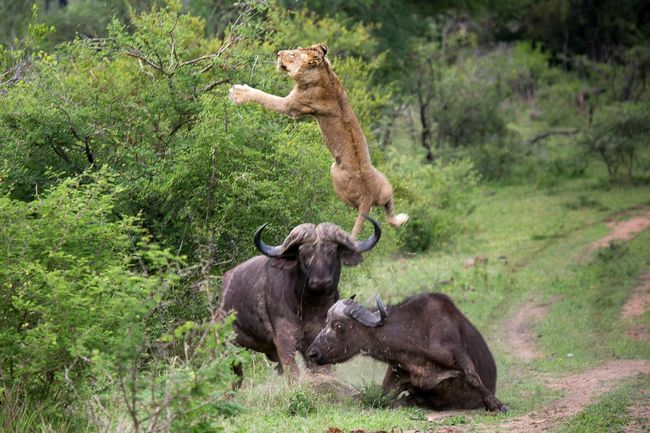 При зустрічі зі левами шанси 50/50. Леви при полюванні на африканських буйволів гинуть не менше, ніж самі буйволи.