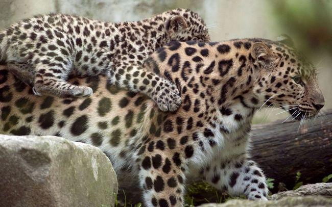 Мамочка-леопард і її дитинча.