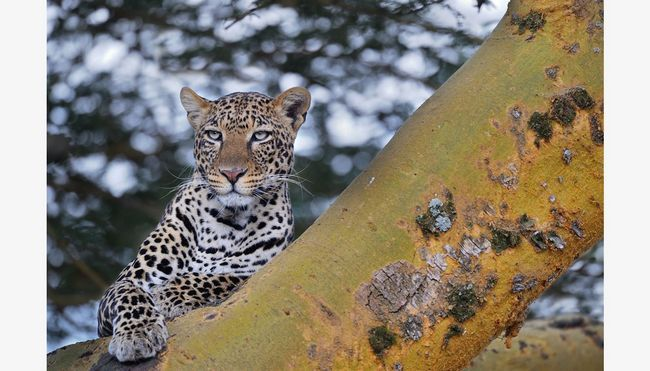 Лазіння по деревах - коник африканського леопарда.