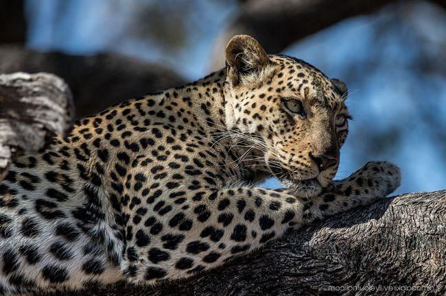 Леопард - унікальна тварина, занесена до Червоної Книги.