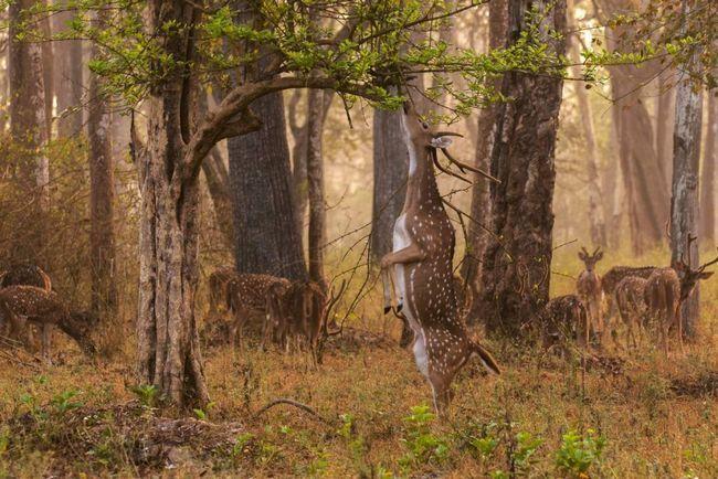 Аксіс - витончений олень з рудувато-золотистою шерстю, прикрашеної дрібними білими плямами.