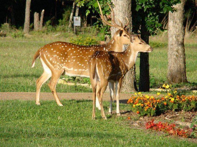 Аксиса - найчастіші олені в Індії.