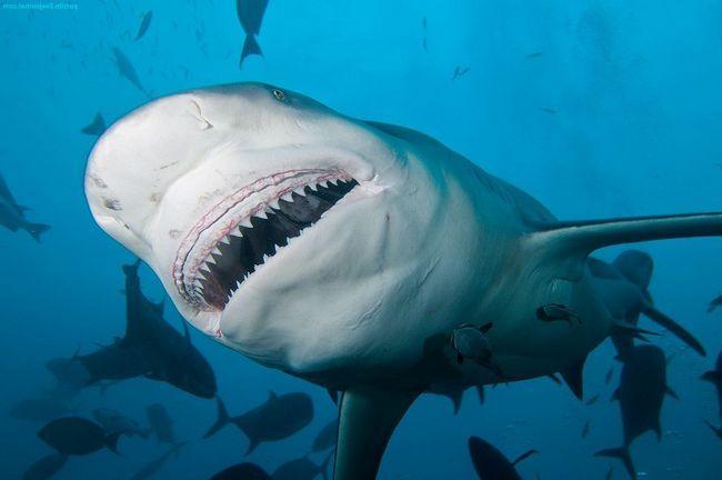 Акула-бик (акула-бик, лат. Carcharhinus leucas)