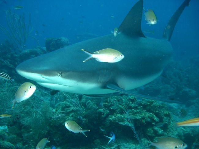 Акула-бик - природжений мисливець і вбивця.