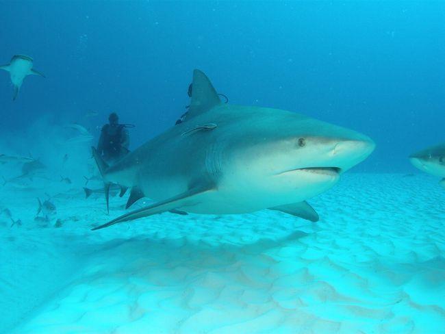 Дайвінг поруч з тупорилої акулою - де знайти заняття, яким ще більше можна полоскотати собі нерви і пограти з долею?