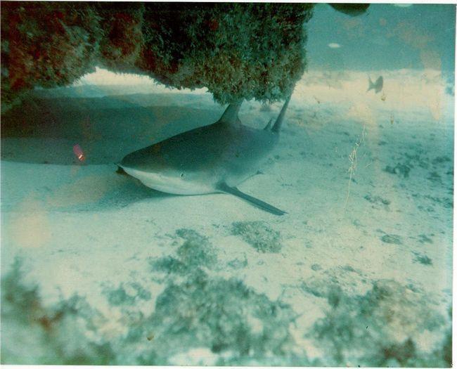 Навіть під час відпочинку акула бик рухається.