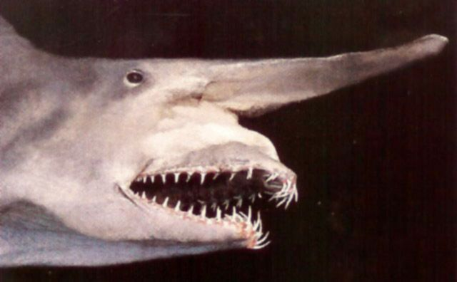 Акула-гоблін, акула-домовик, акула-носоріг або скапанорінх (лат. Mitsukurina owstoni) - глибоководна акула