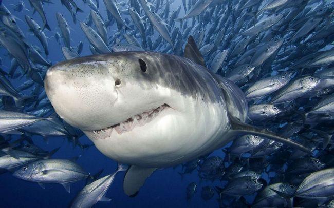 Біла акула