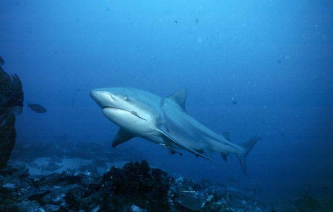 блакитна акула