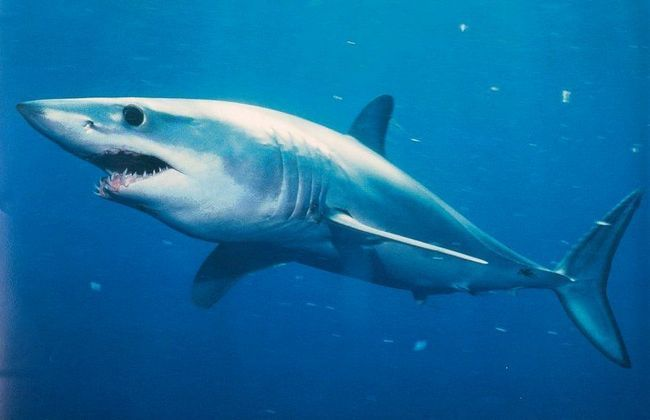 Щелепи і зуби - смертельна зброя акули маку.