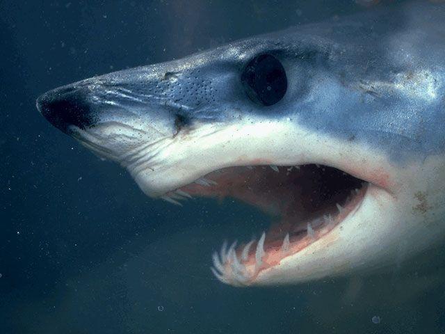 Зуби в акул ростуть все життя, постійно оновлюючись.