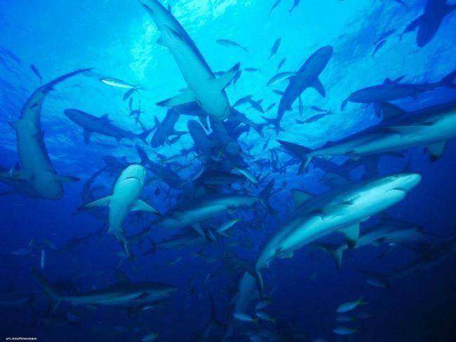 Акулам загрожує повне винищення в найближчому майбутньому.