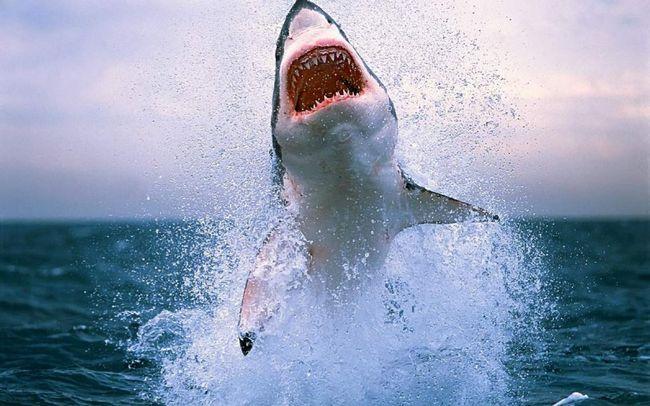 Люди винищують мільйони особин акул на рік.