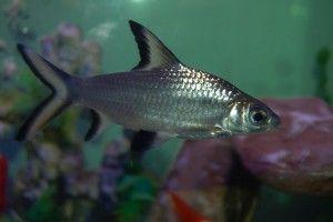 Акулячий балу: зміст і сумісність з іншими рибками