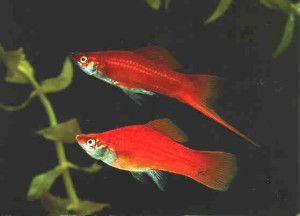 Рибки мечоносці