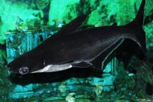 Акваріумна акула, або акулячий сомик