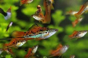 Акваріумна рибка мечоносець: утримання та догляд