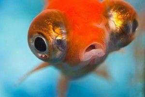 Акваріумна рибка телескоп