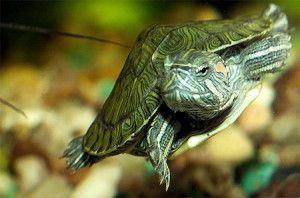 Акваріумні черепахи