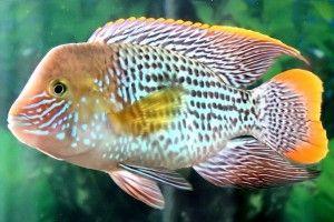 Акваріумні рибки акар
