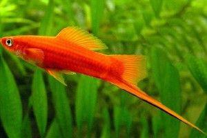Акваріумні рибки мечоносці: розмноження і зміст