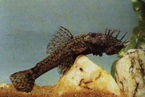 Акваріумні рибки сомики: анцитрус, брохіси, бронякі