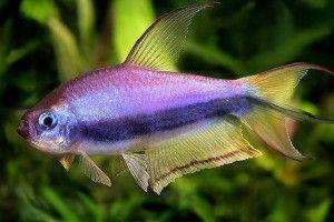 Акваріумні рибки тетра